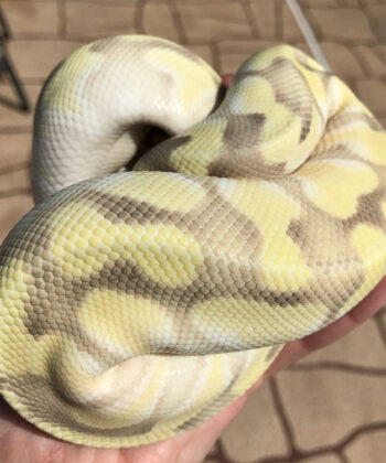 Pastel Butter Enchi Ghost ball python-Pastel-Butter-Enchi-Ghost-ball-python.jpg-22.jpg